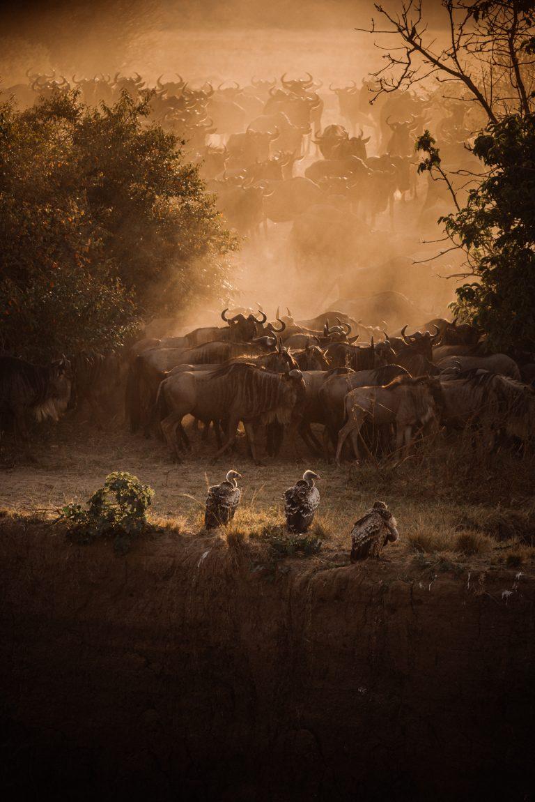 MUTUA MATHEKa captures the great migration MAasai Mara