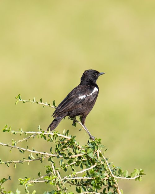 The dashing male sooty chat