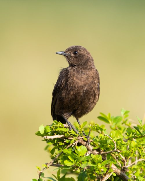 And the rather plain female sooty chat
