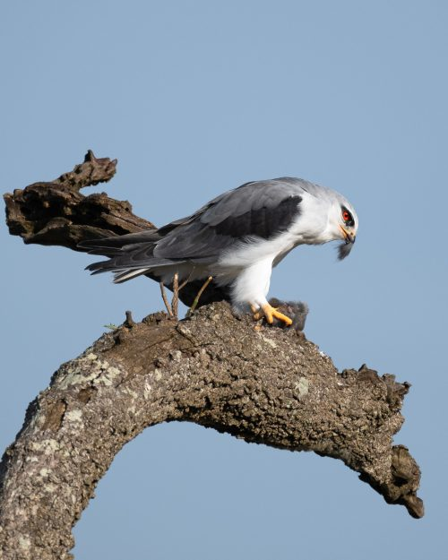 A black-winged kite prepping its meal