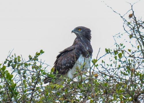 The eyes have it on this martial eagle