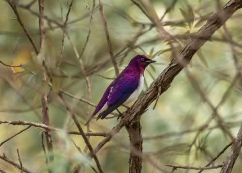 The stunning violet-backed starling