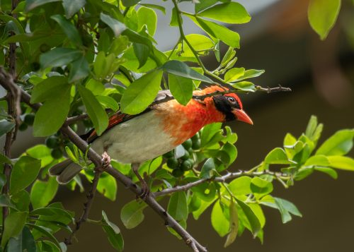 An inquisitive red-headed weaver