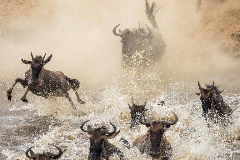 Wildebeest migration crossing Maasai Mara