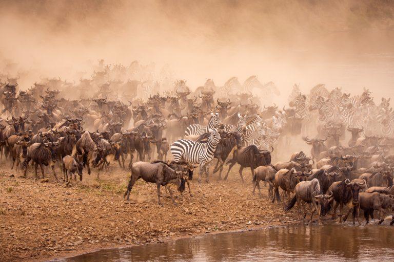 Zebra and wildebeest crossing in the Maasai Mara