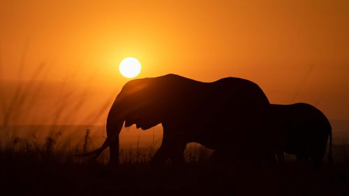 Millie, the matriarch of the Mara, with her gigantic tusks silhouetted against the sun