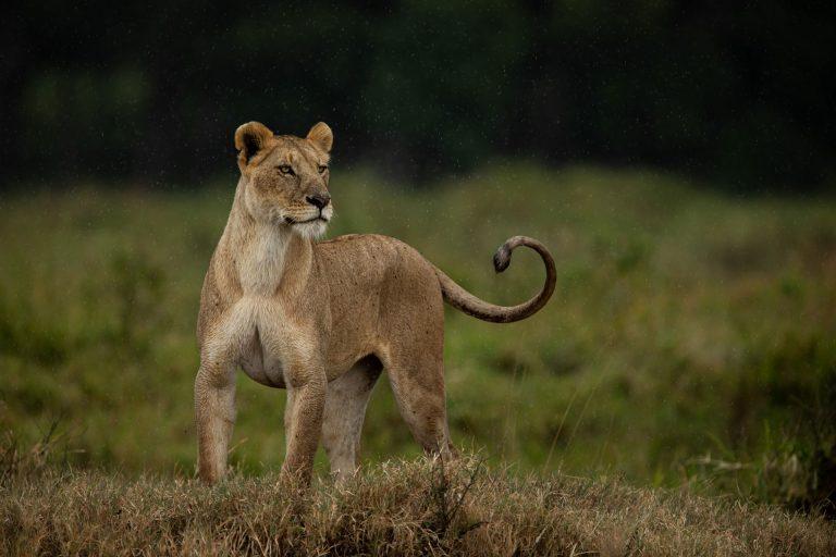 Lioness hunting in the maasai mara