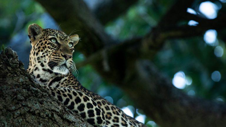 Leopard in tree Mara Triangle Kenya