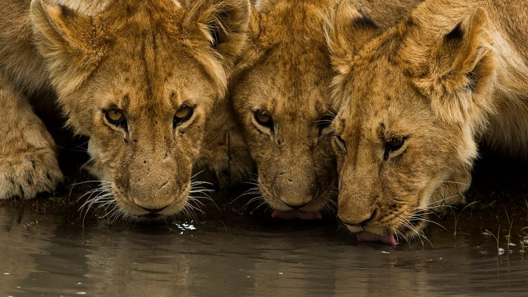 Lion cubs drinking in the Maasai Mara Game Reserve