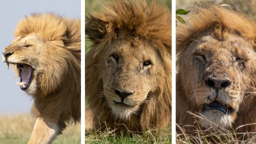October 2020, July 2021, and September 2021  – life isn't always easy for the king of the jungle