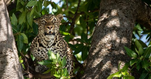 Above: The Salt Lick female leopard sits comfortably in the dappled light of a fig tree