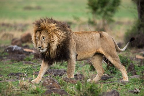 An exemplary male lion in his prime seen in the Serengeti
