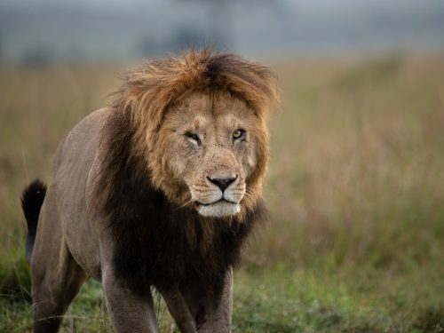 Chongo is an impressive lion, but for first time viewers he's extraordinary