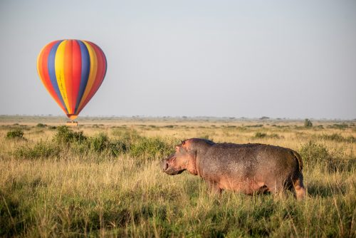 The end to another night of feasting, a hippo makes its way back to the river