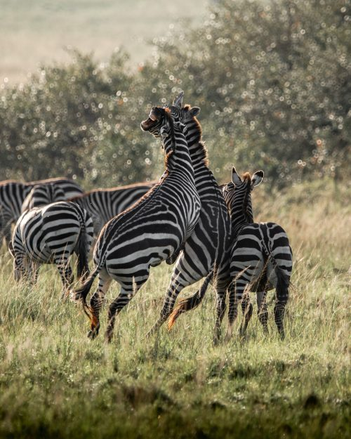 With piercing bites and powerful kicks zebras are able to cause serious damage