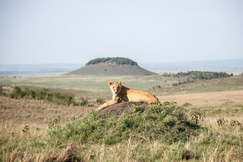 This youngster chose the top of a termite mound to take a mid-morning nap