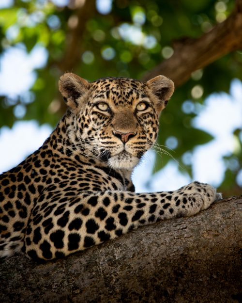 The Salt Lick female leopard looks out over the Mara from her vantage point