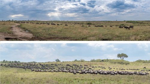 Panoramas are the best way to capture the sheer numbers of the herds