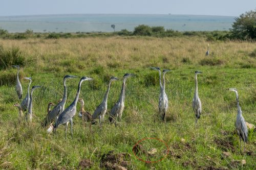 These herons may not realize how close the danger is (outlined in red)