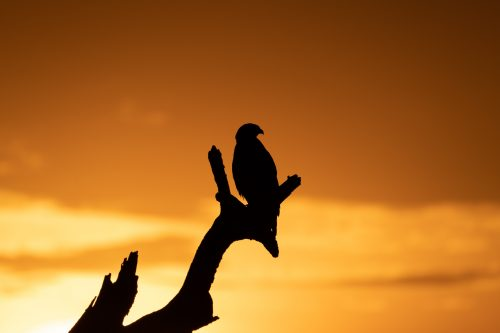 Above: The silhouette of a tawny eagle against the golden morning sky