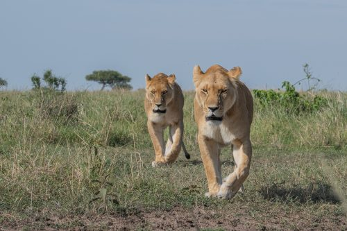Two fellow Angama Pride females taking position