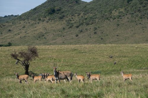 Whether a babysitter or a primary school teacher, this eland has a busy day ahead of her