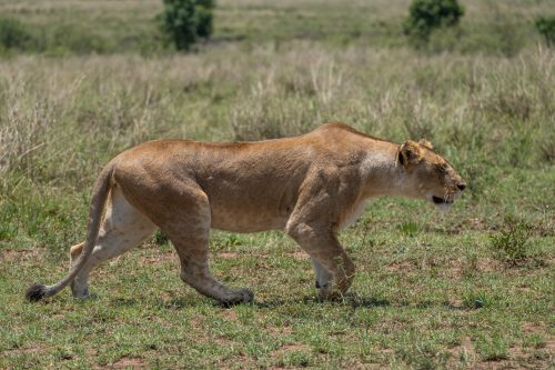 Staying low to avoid detection, this female was on the hunt