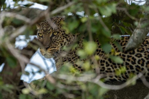 A stunning new female leopard on the scene