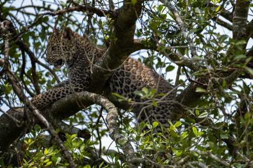 Her equally beautiful cub hiding out in the tree